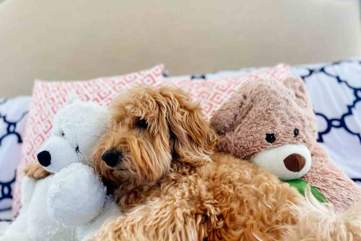 How Long Do Goldendoodles Sleep Per Day?