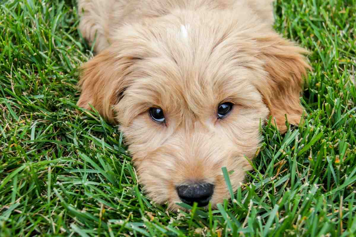 What Is The Smallest Breed Of Goldendoodle?