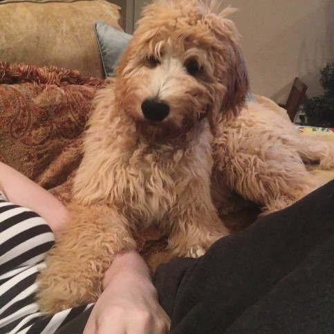 Do Goldendoodles Need A Lot Of Attention?