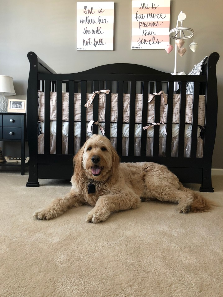 Are Goldendoodles Protective Of Their Owners?