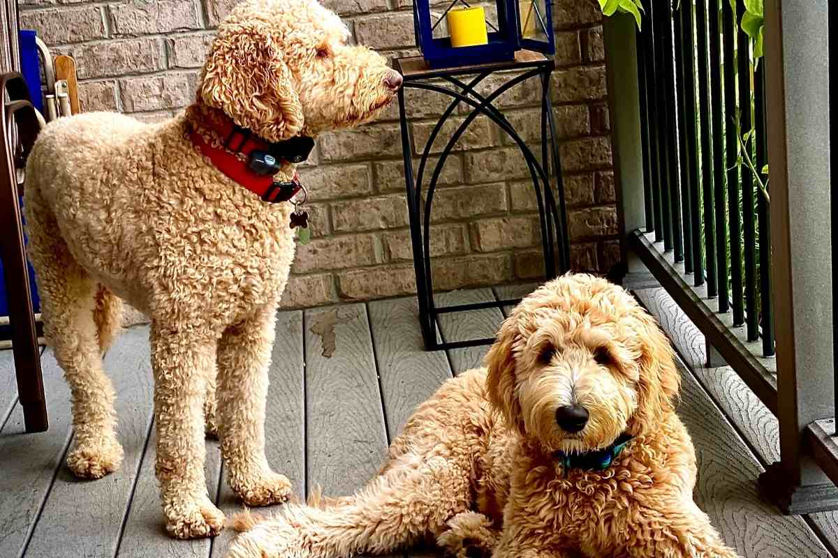Are Male or Female Goldendoodles Easier To Train?