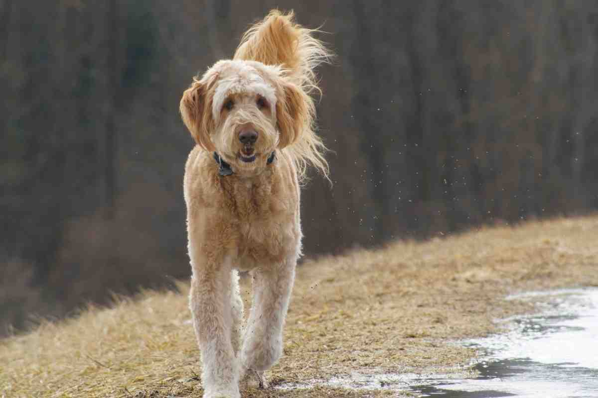Can A Goldendoodle Be A Hunting Dog?