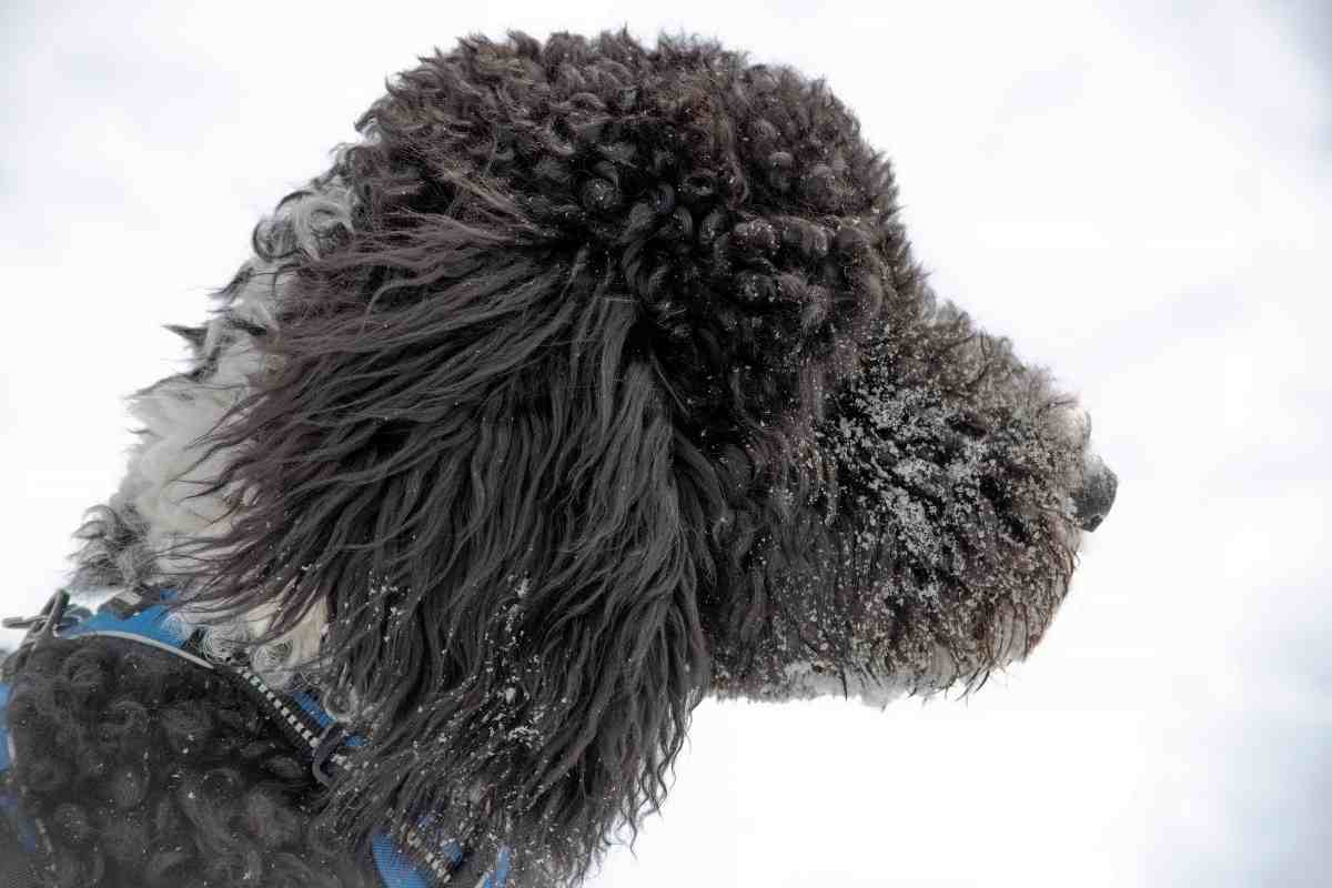 Can A Goldendoodle Be Black and White? #dogs #puppies #DOODLES #goldendoodle