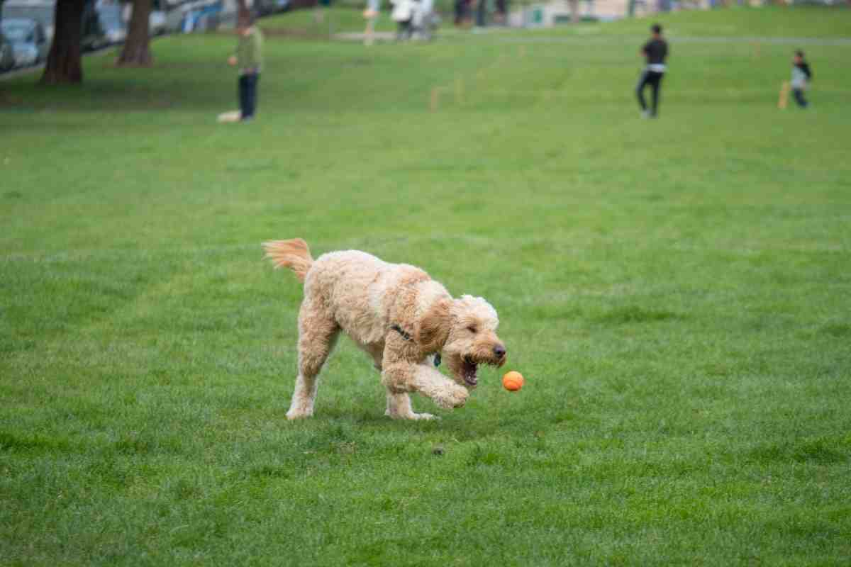 Do Goldendoodles Like To Play Fetch?
