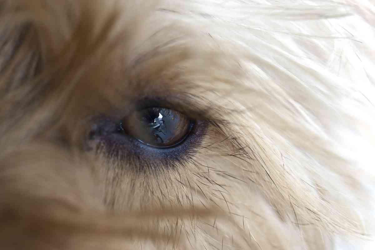Should you cut Goldendoodles' eyelashes?