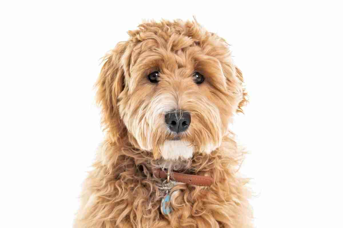 What Color Goldendoodle Is Best?
