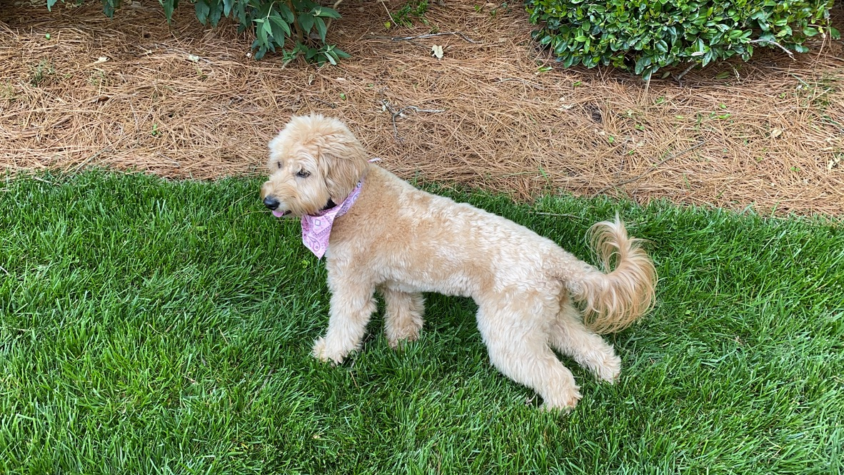 7 Ways to Help a Goldendoodle Who is Scared of Everything