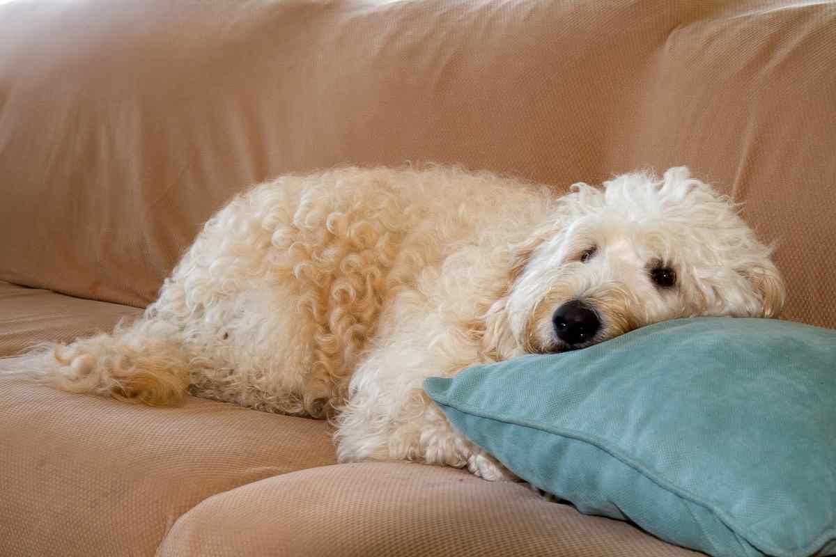 Are Goldendoodles Good For Seniors?