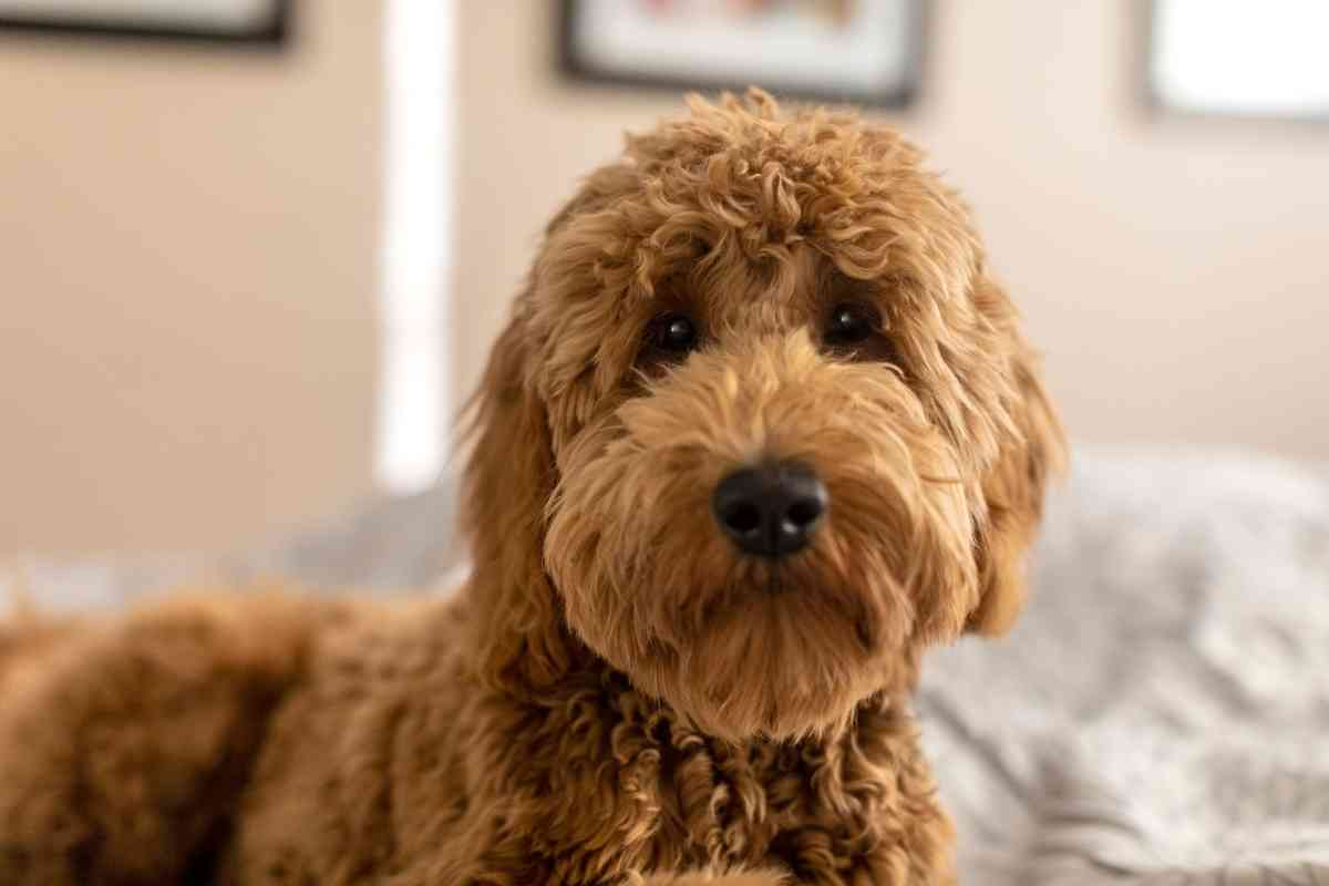 Are Goldendoodles Low Maintenance?