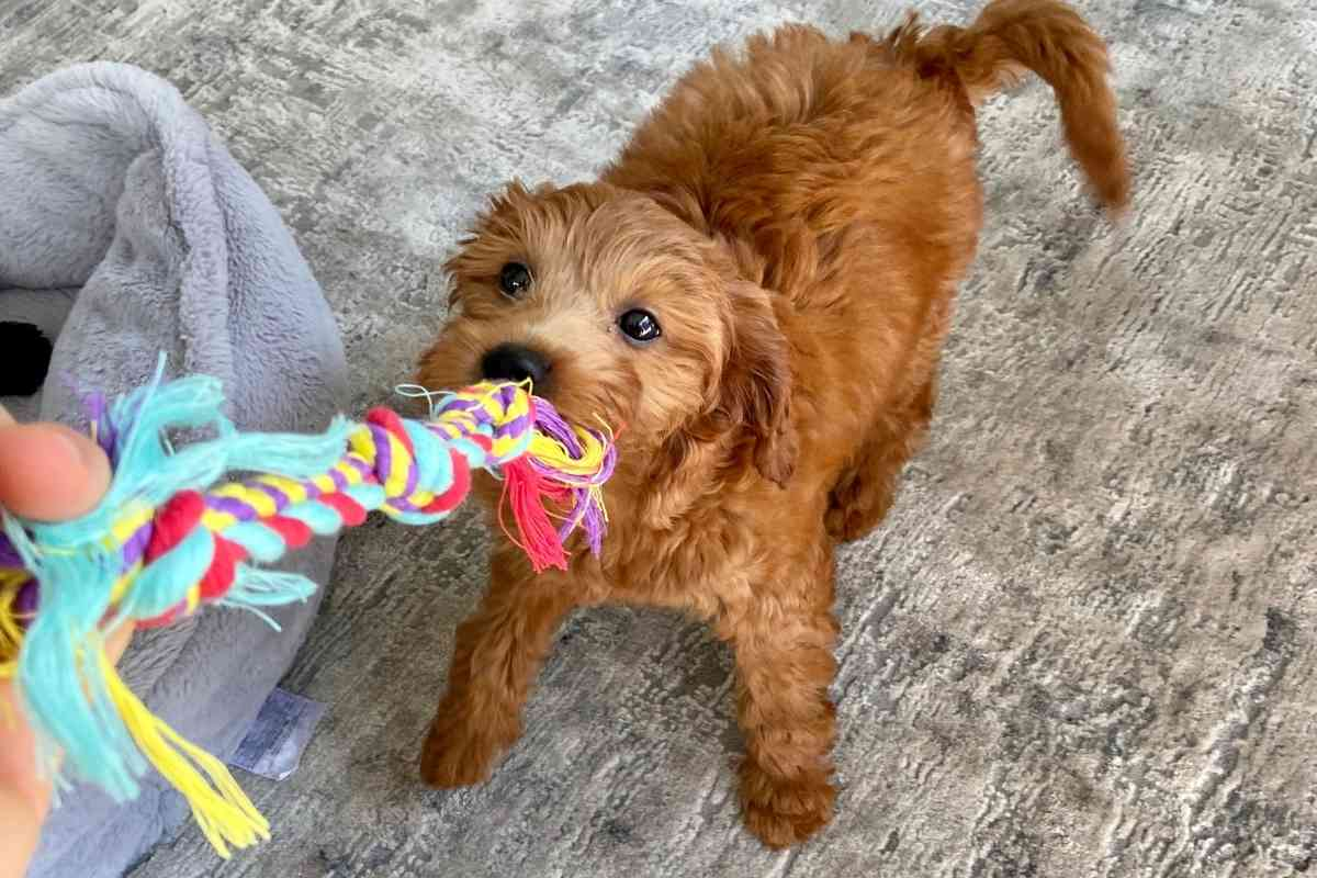Are mini Goldendoodles athletic? #dogs #puppies #goldendoodles #doodles #doods