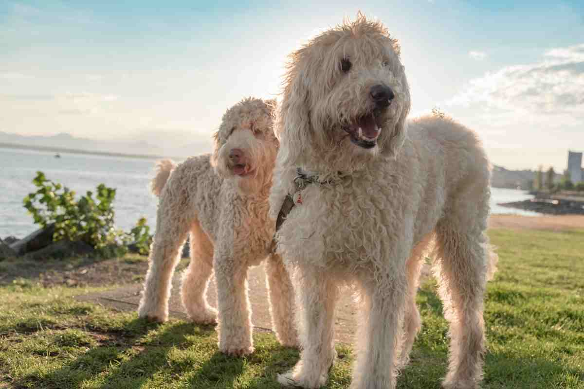Can You Breed Two Goldendoodles Together?