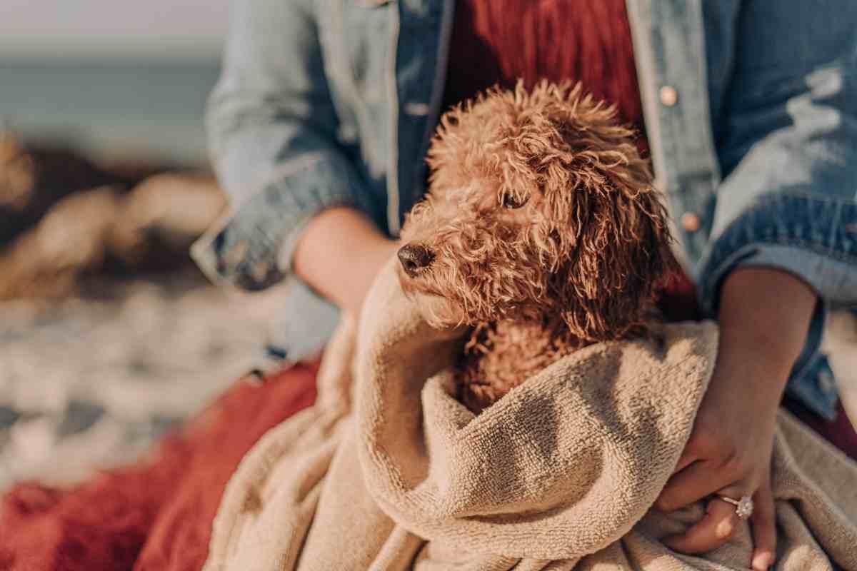 How Do I Make My Goldendoodle Coat Shiny?