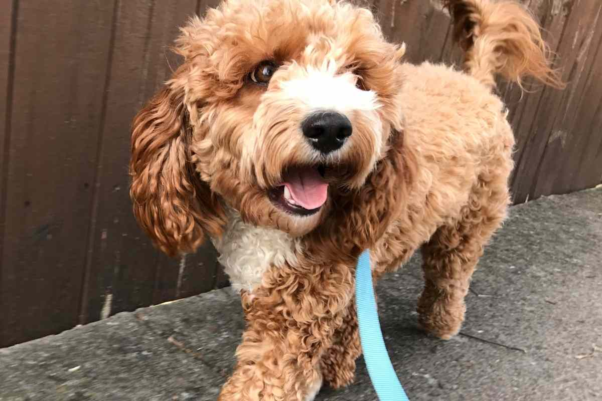 How Often Do Goldendoodles Need To Be Walked?