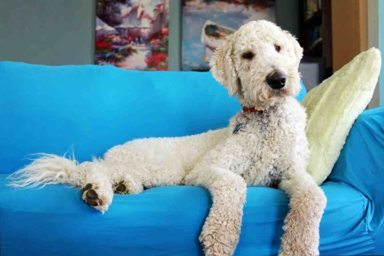 Can Goldendoodle Eat Chicken?