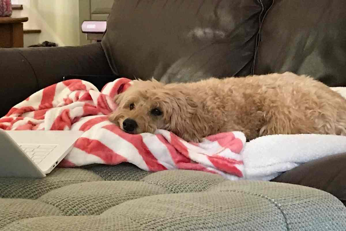 Is A Goldendoodle A Good House Dog?