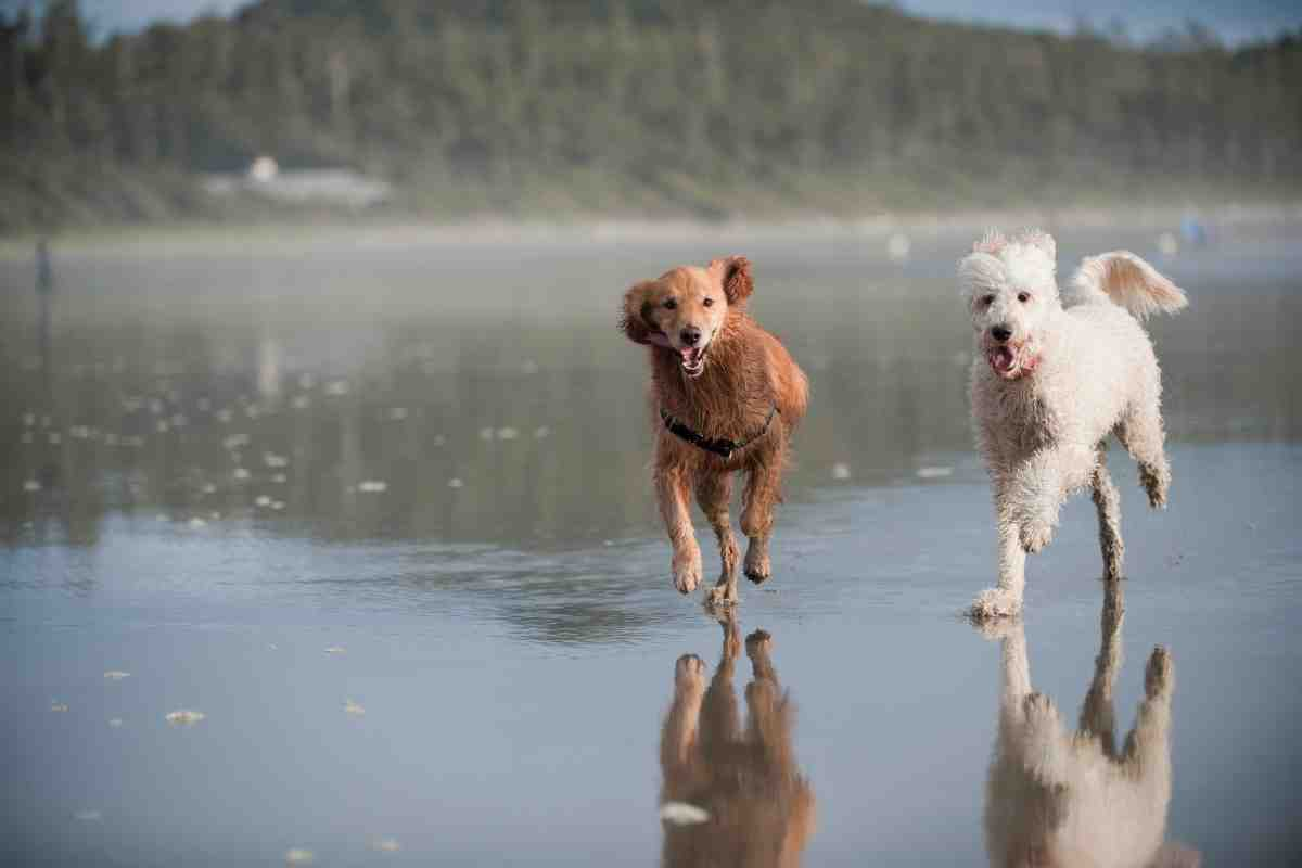 Male vs. Female Goldendoodles: Is there a difference