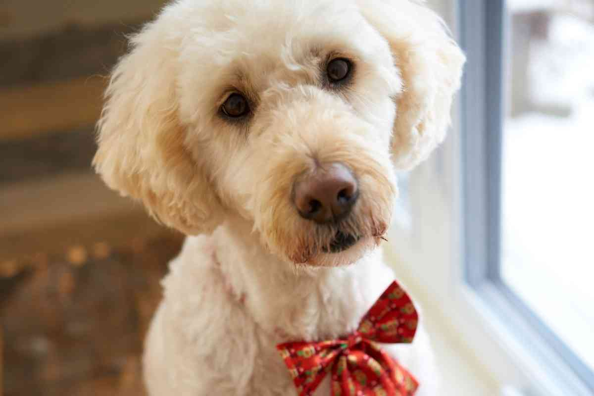 Should A Goldendoodle Be Clipped?