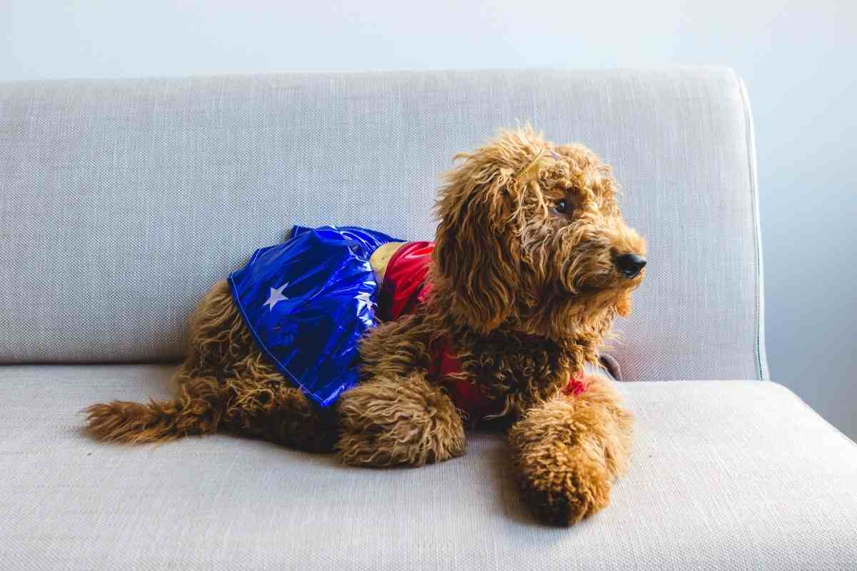 Why Are Goldendoodles So Expensive?