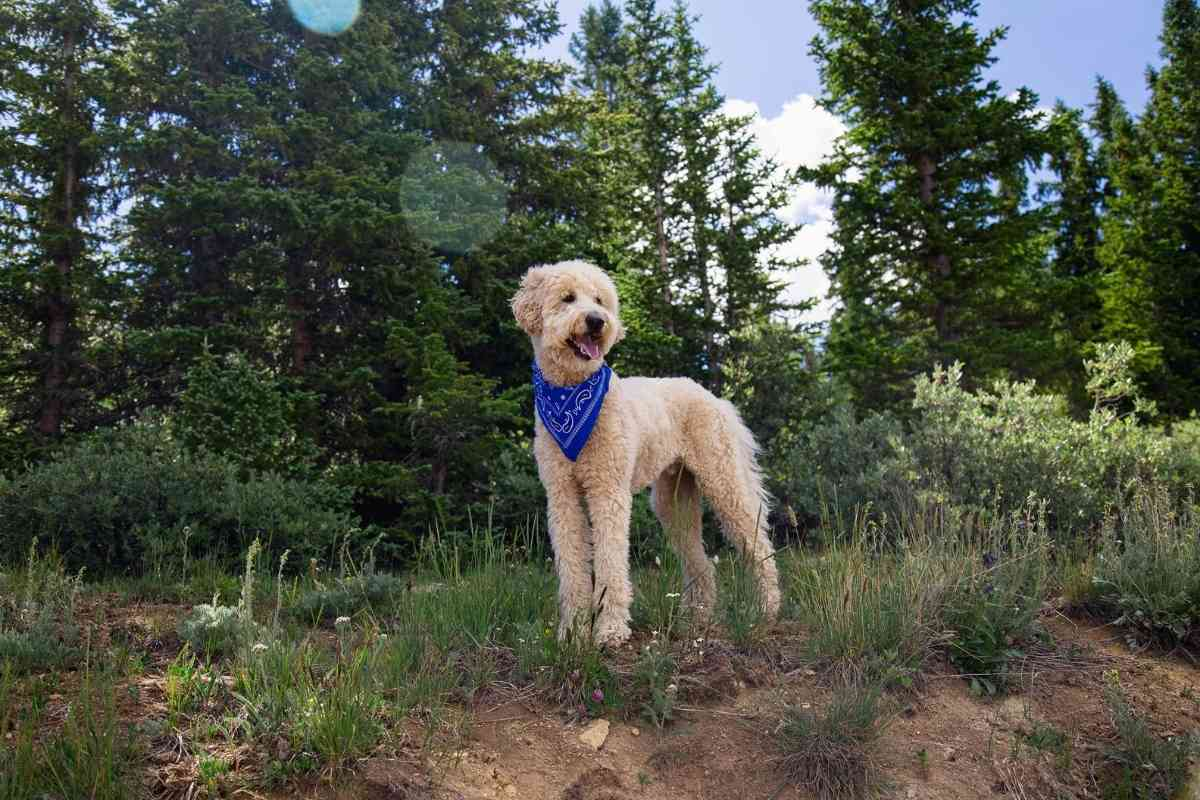 Are Goldendoodle Inside or Outside Dogs?
