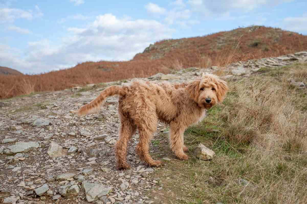 Can You Breed A Goldendoodle With A Retriever