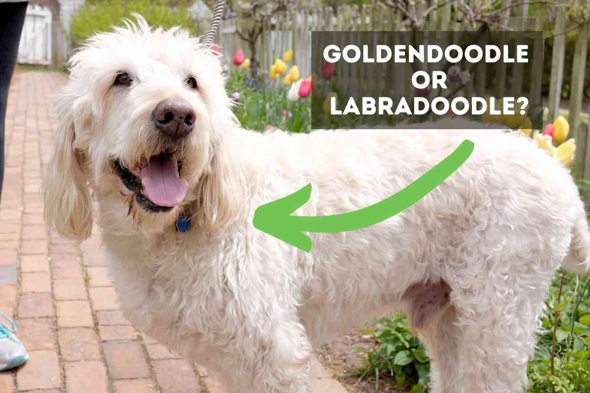 Goldendoodles vs. Labradoodles