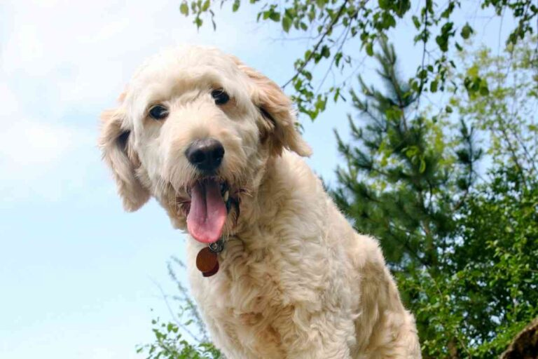 Panting In Goldendoodles: What Is Normal And What Isn't