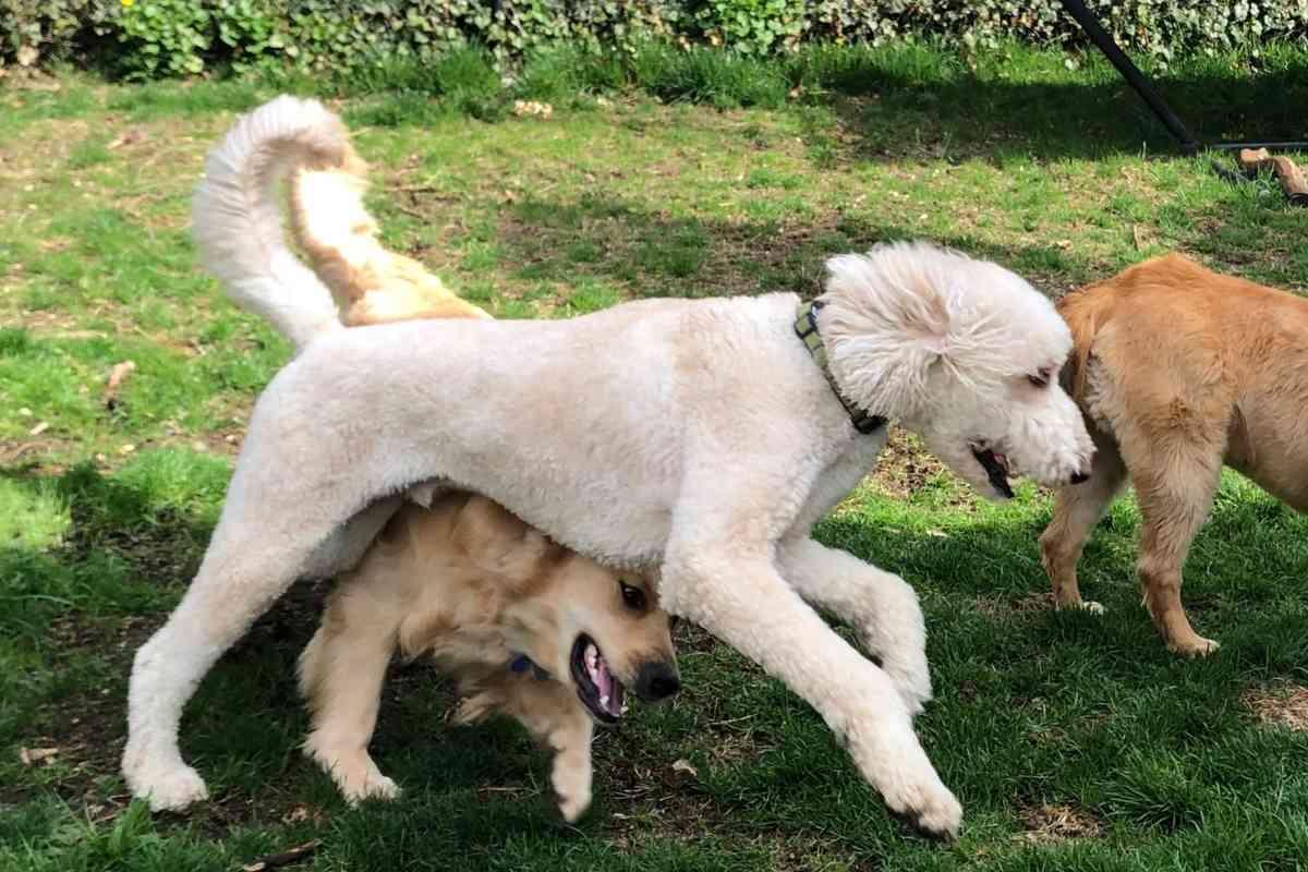 Should I Trim My Goldendoodle For Summer? #Goldendoodle #doodle #dood #dog #puppy #puppies #furbabies