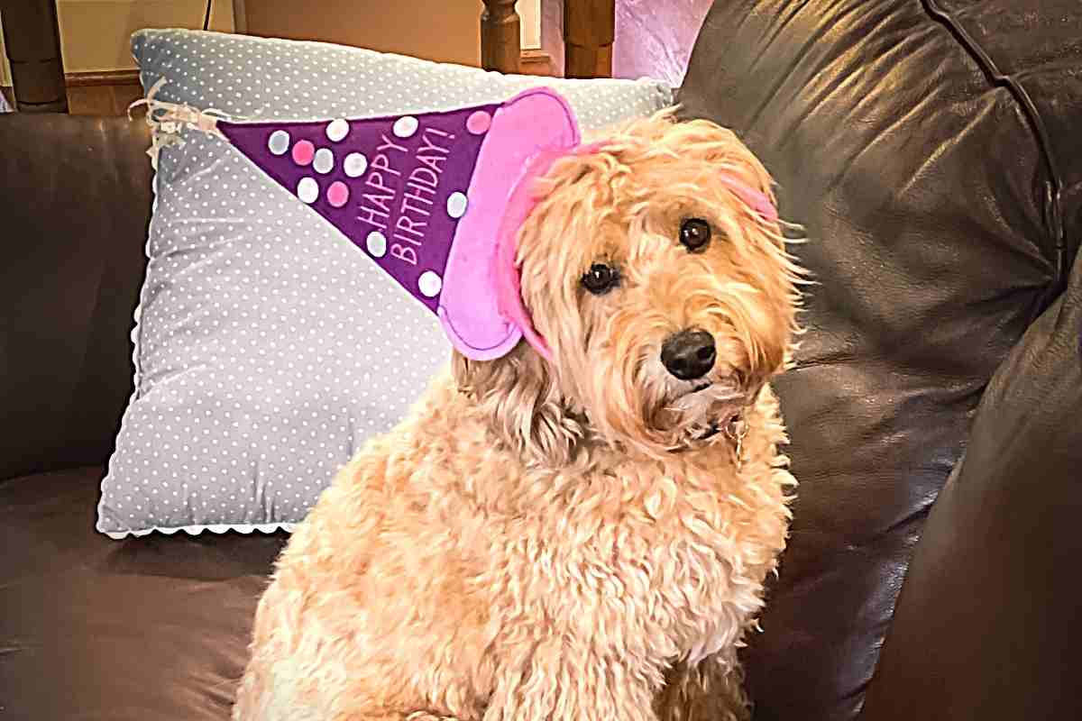 At What Age Is a Miniature Goldendoodle Fully Grown