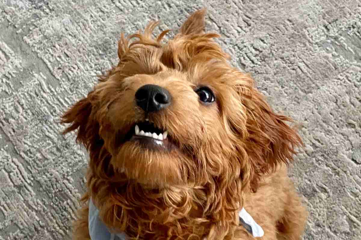 Why Do Goldendoodles Growl