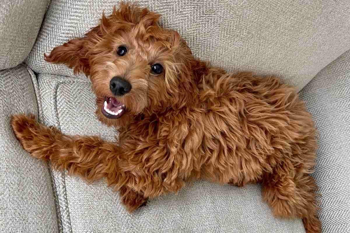 12 Reasons Mini Goldendoodles Make Excellent Therapy Dogs