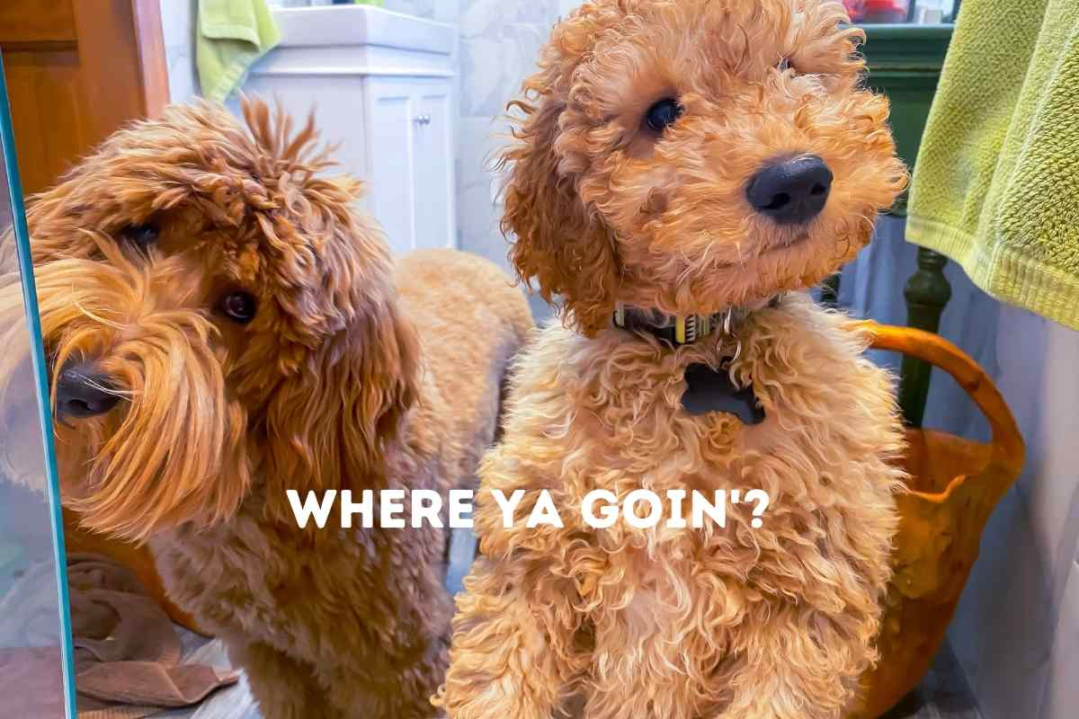 Why Does My Goldendoodle Follow Me Everywhere?