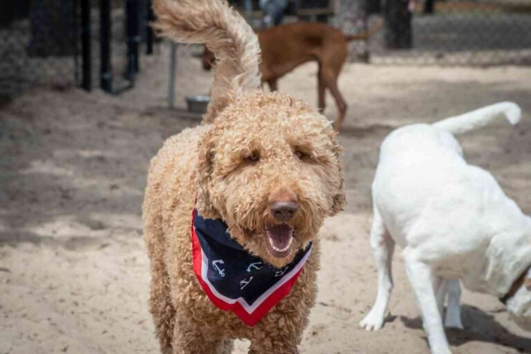 Why Does My Goldendoodle Stink?