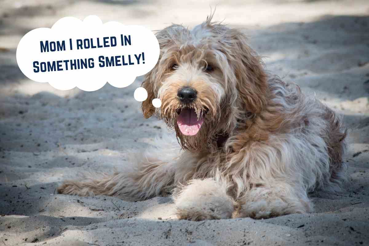 Why Does My Goldendoodle Stink? #dogs #goldendoodles #puppies