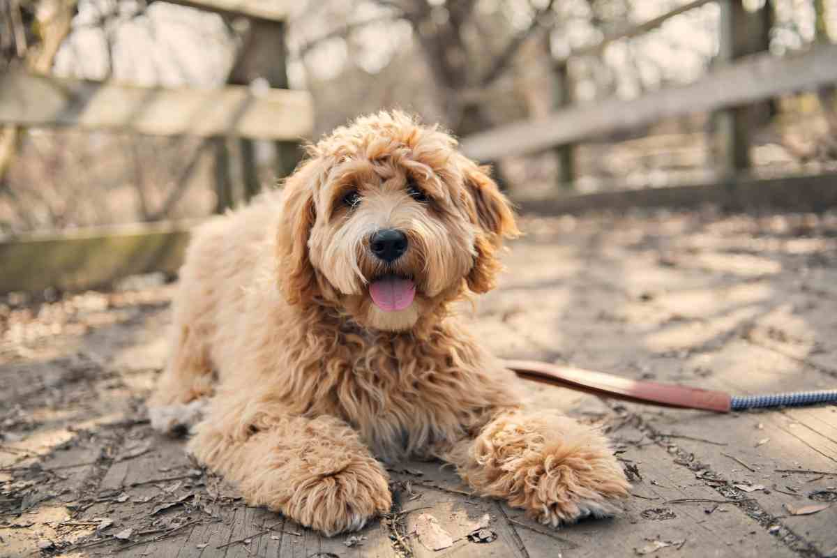 Life Expectancy Of A Goldendoodle
