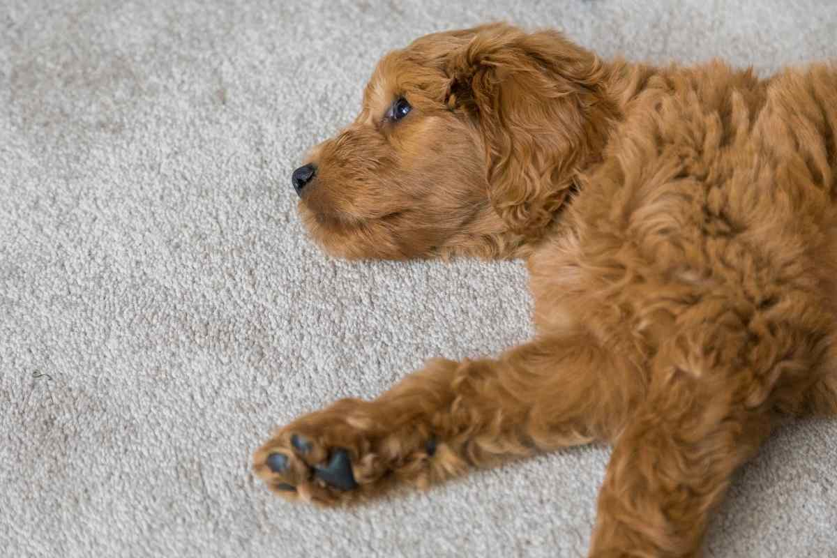 What Kind of CBD Oil Is Best for Goldendoodles