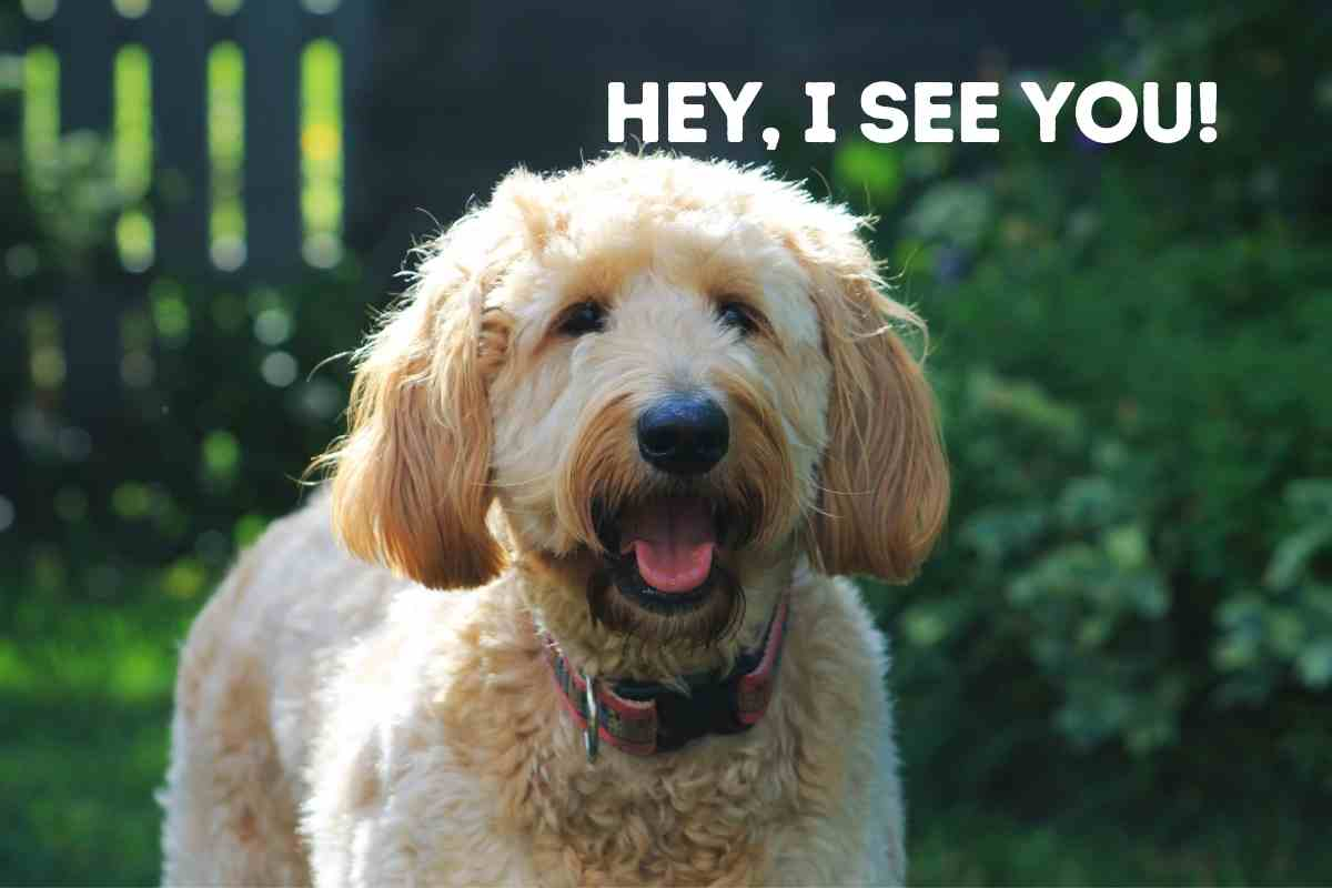 Why Does My Goldendoodle Bark At Other Dogs?