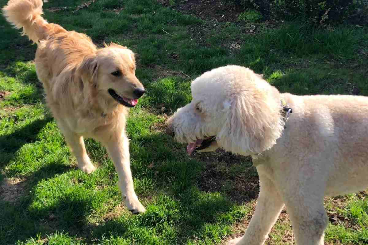 Are Goldendoodles Aggressive To Other Dogs?