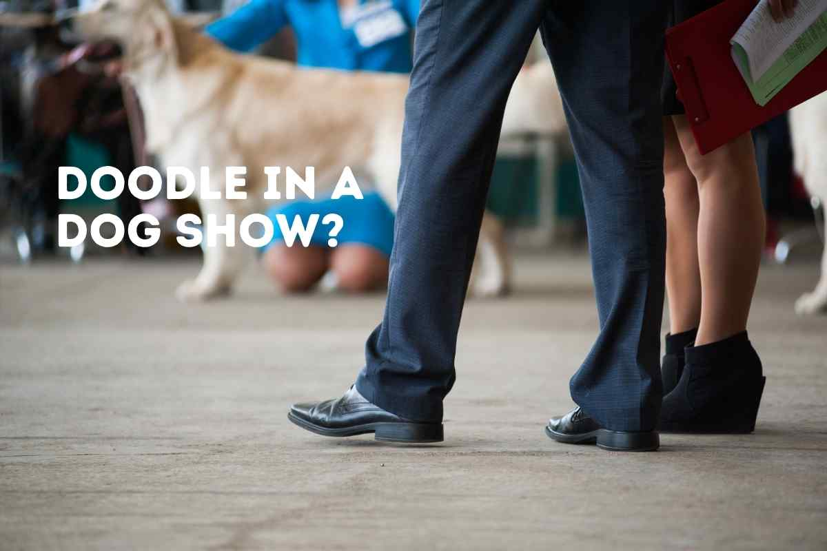 Can a Goldendoodle Be A Show Dog?