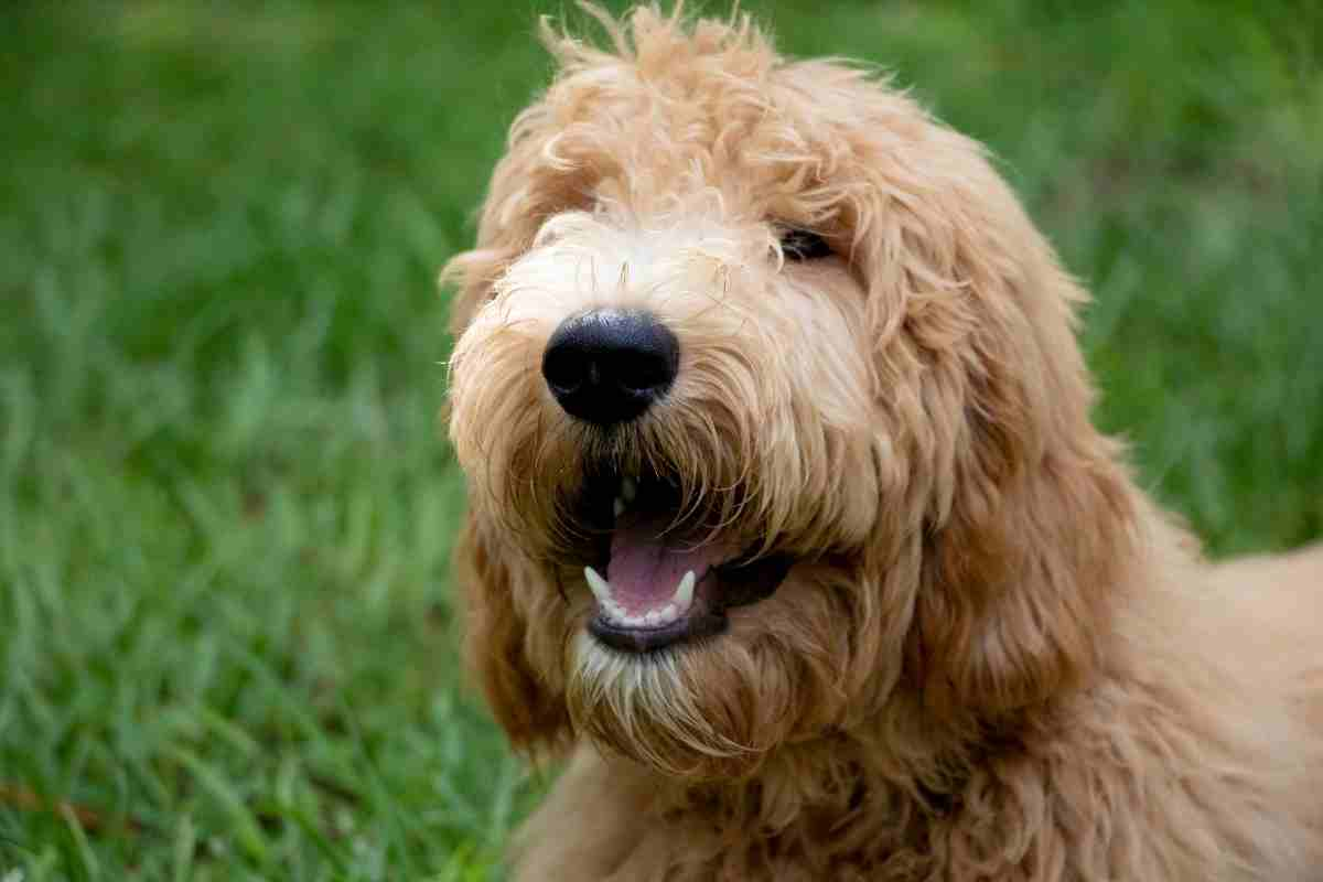 Can a Goldendoodle Have Straight Hair