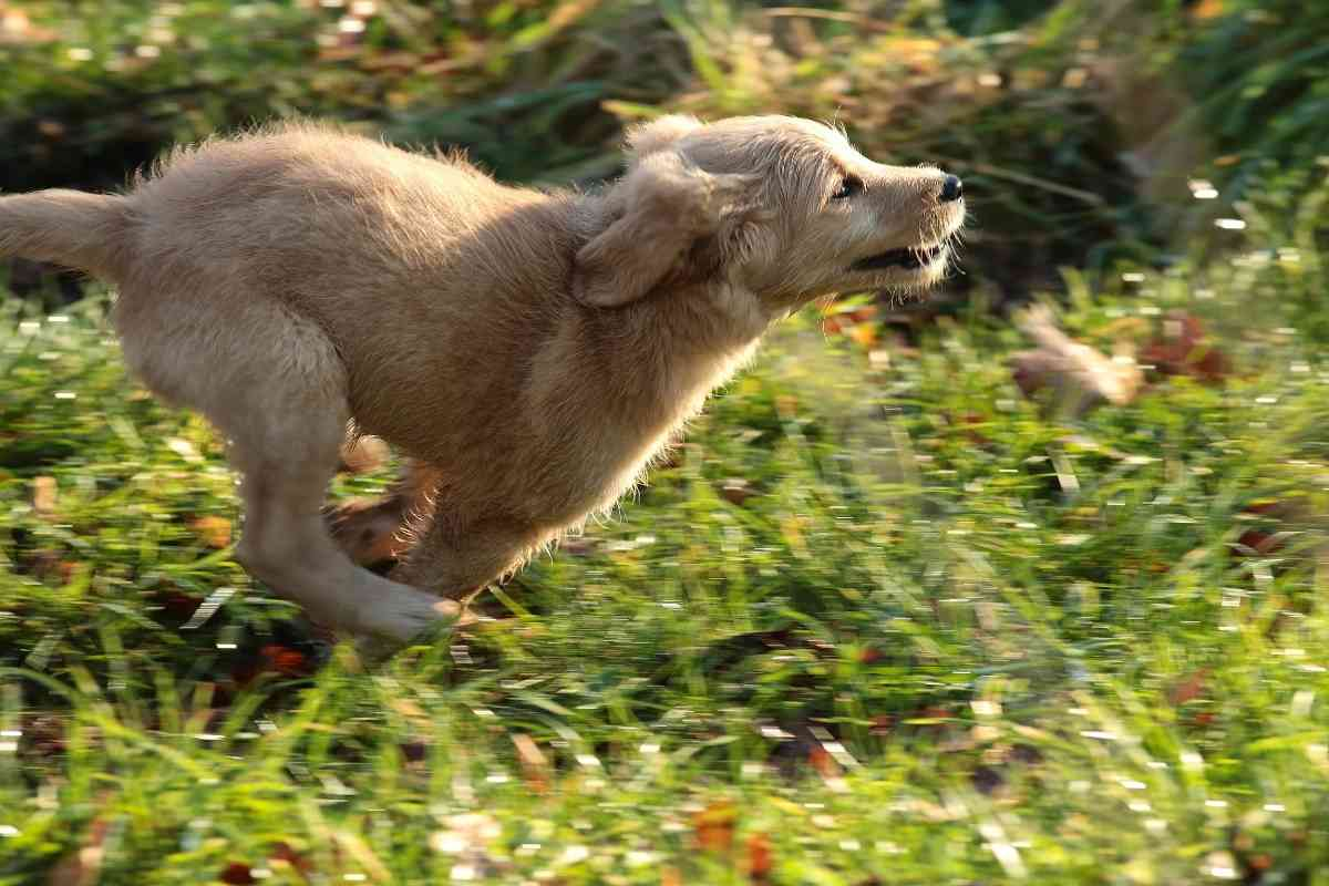 How Fast Can a Goldendoodle Run?