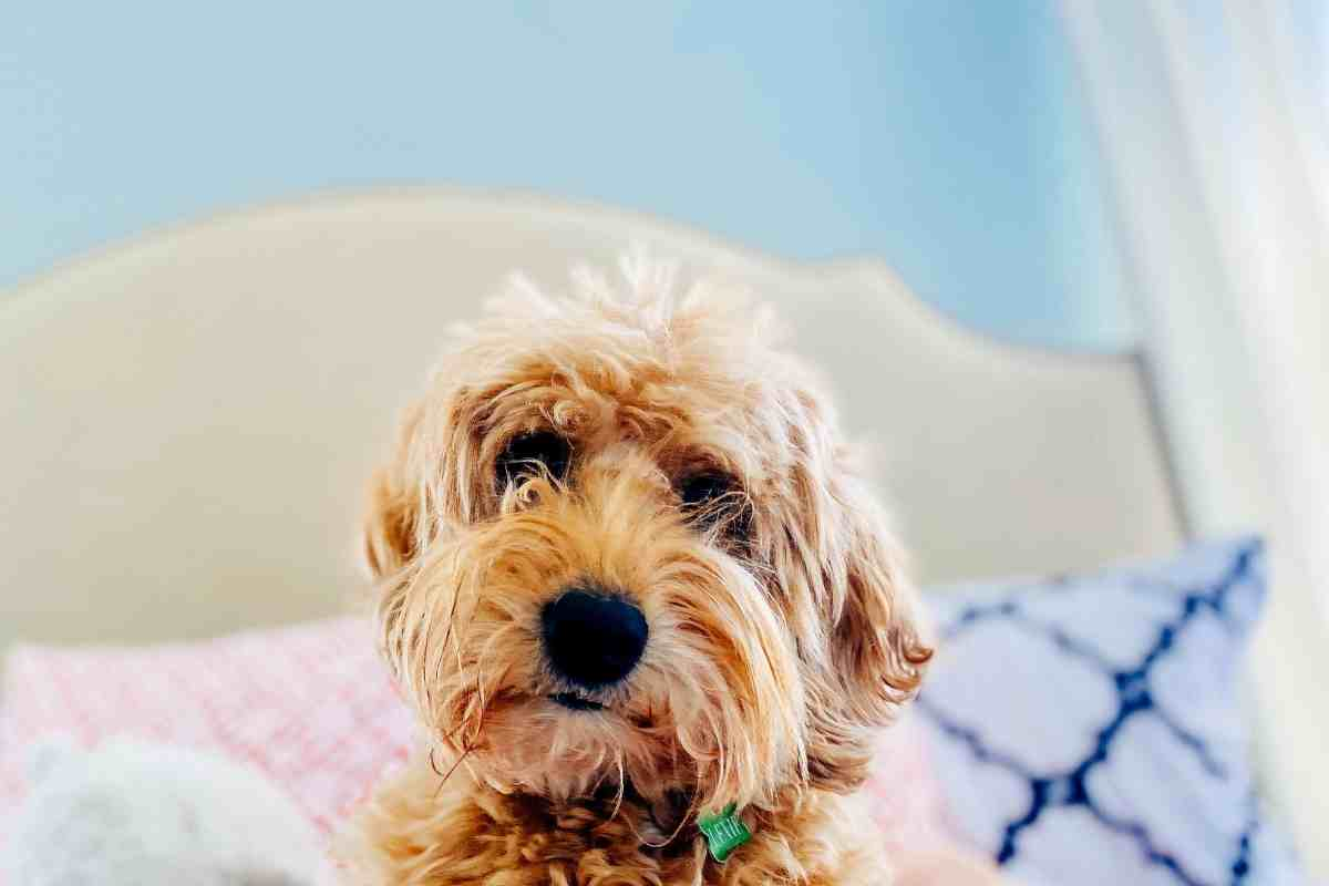 Why Does My Goldendoodle Stare At Me?