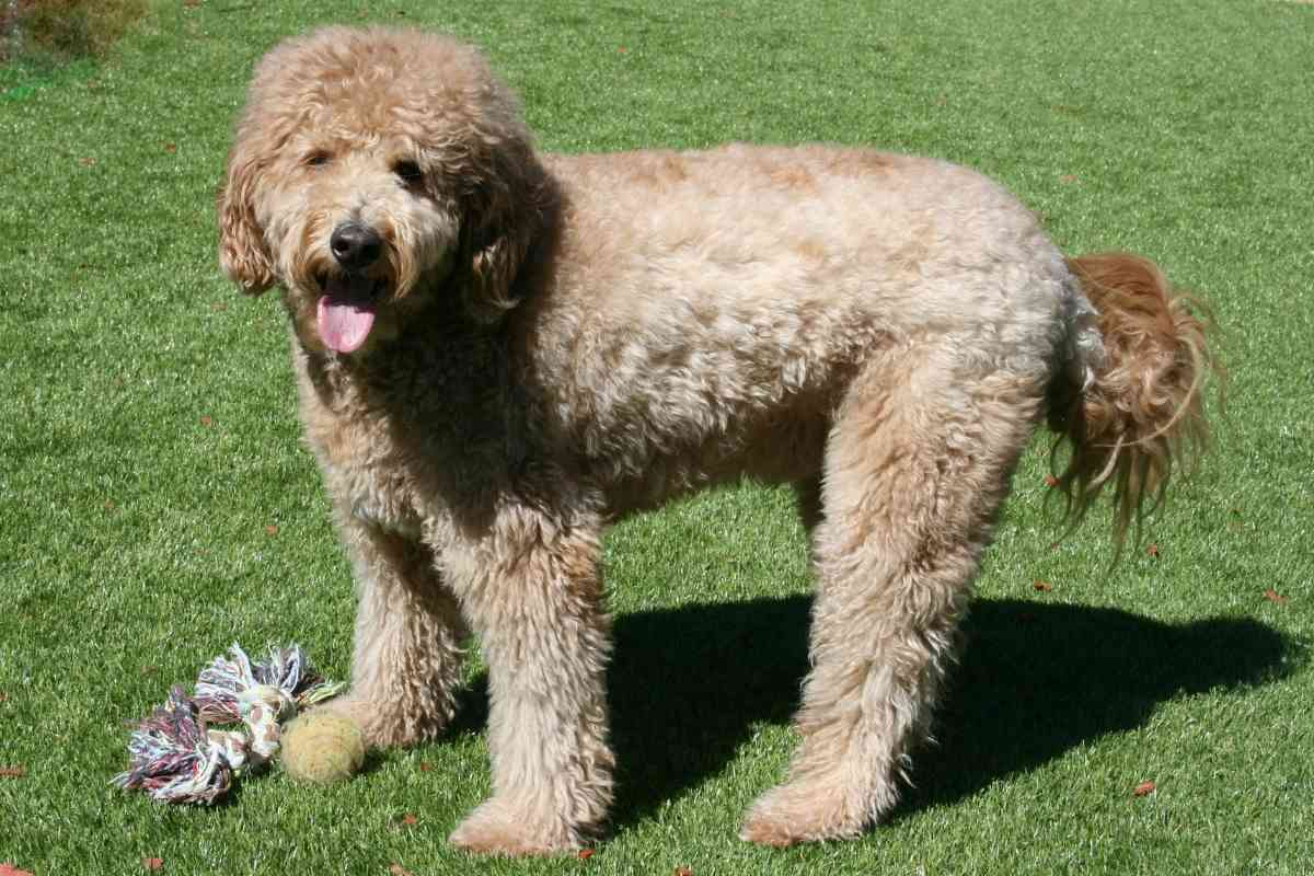 How Tall Will My Mini Goldendoodle Get?