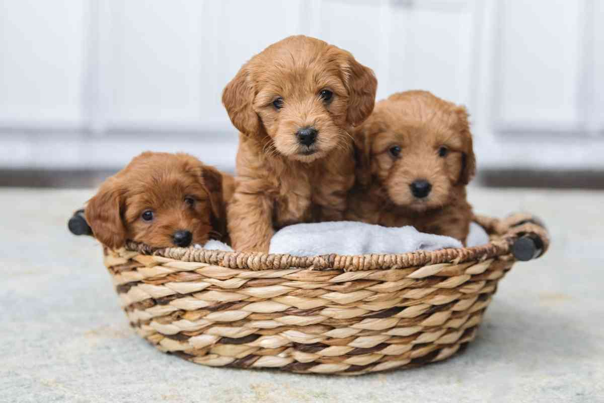 How to Estimate a Mini Goldendoodle's Size?