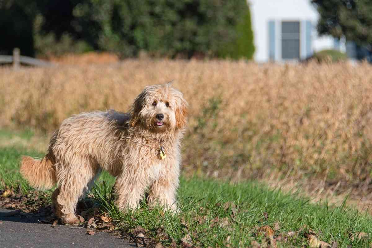 What Does Goldendoodle F1b Mean?