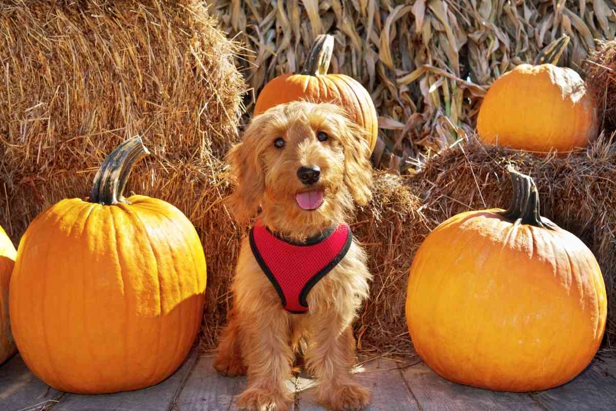 What Generation of Mini Goldendoodle is Best?