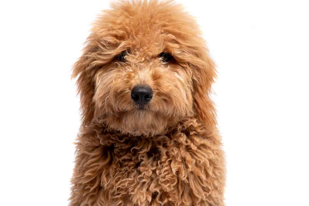 What is a Micro Mini Goldendoodle?