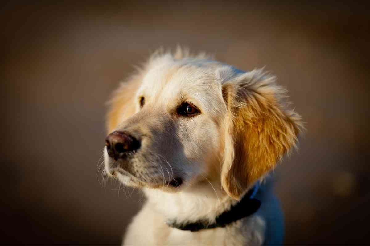 What is a Mini English Goldendoodle?