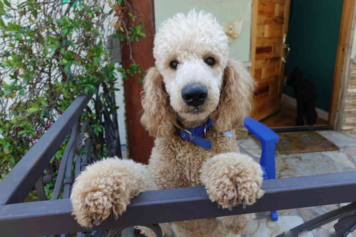 What is the Difference Between a Goldendoodle and a Mini Goldendoodle?