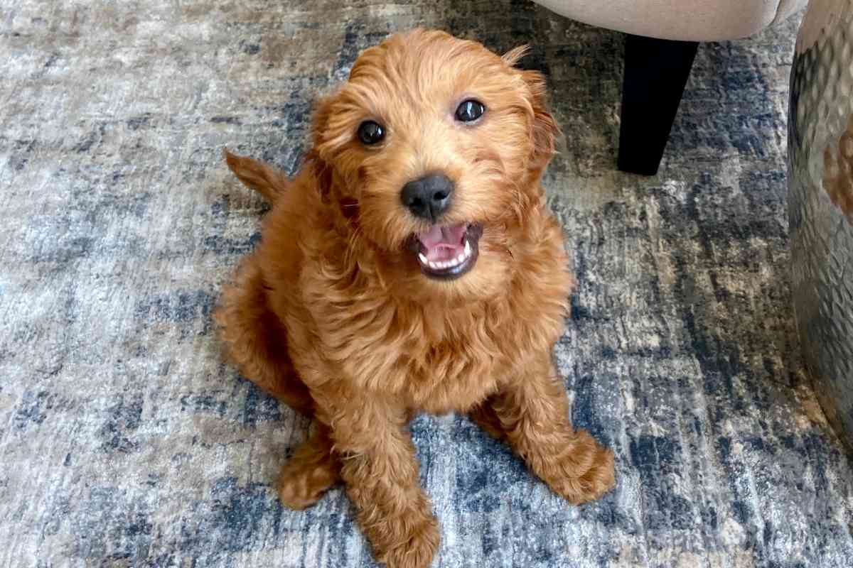 What is the Difference Between a Mini Goldendoodle and a Petite Goldendoodle?